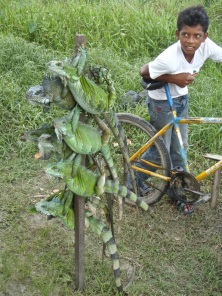 Iguanas for sale...for food